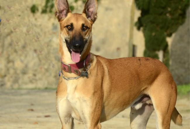 ADANA perro labrador pastor belga