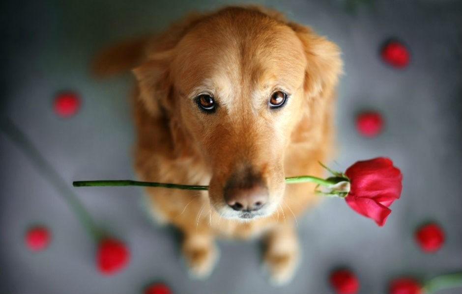 Roses solidàries Sant Jordi