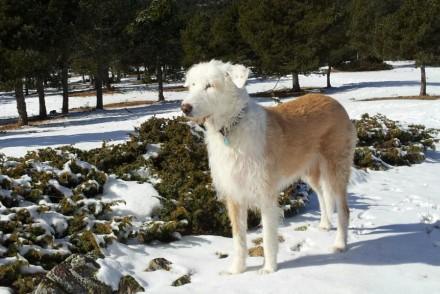 ADANA perro pastor joven grande