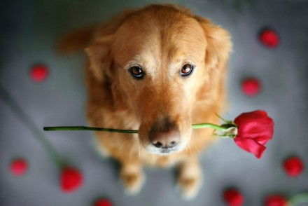 Roses solidàries Sant Jordi ADANA